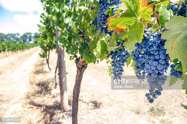 Purple grapes on a vine