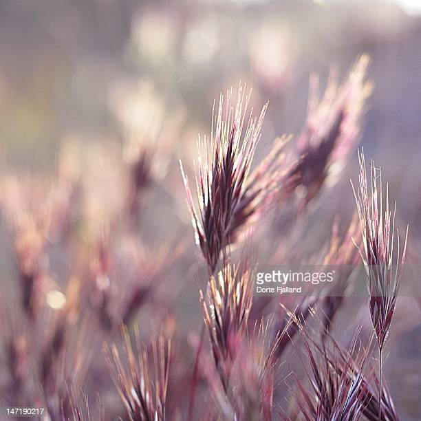Purple grass in evening sun