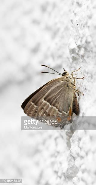 Paarse melinus Butterfly (Neozephyrus quercus)