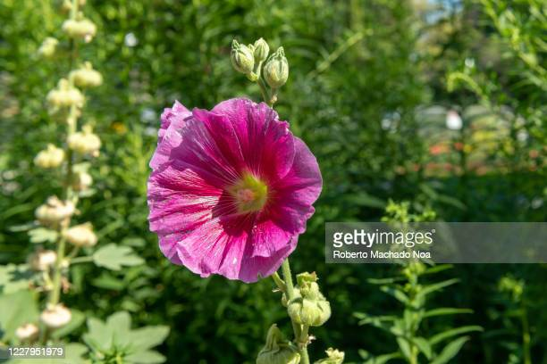 Purple Hollyhock flower in the gardens of Saint James Park in the downtown district The area is famous for its beautiful gardens
