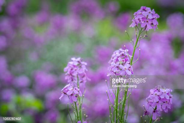 purple honesty flowers - malton stock pictures, royalty-free photos & images