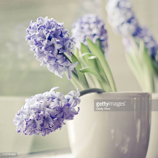 purple hyacinth flowers in soft grey pot - hyacinth stock pictures, royalty-free photos & images