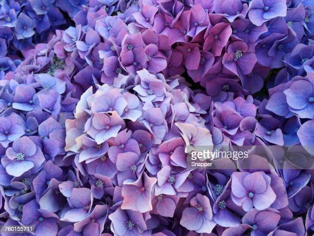 purple hydrangea flowers - purple stock pictures, royalty-free photos & images