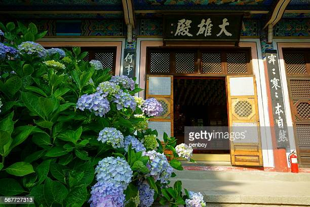 Purple Hydrangea in front of the temple