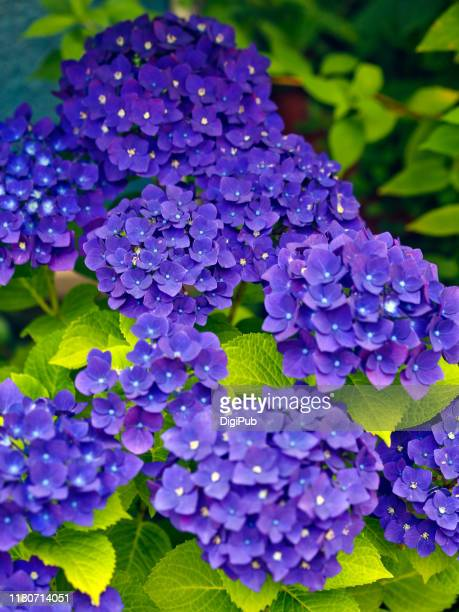 purple hydrangea - june stock pictures, royalty-free photos & images