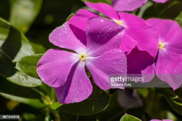 purple impatients - impatience flowers stock pictures, royalty-free photos & images