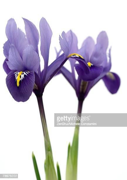 Purple iris, close-up
