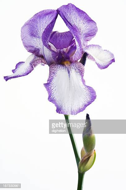 Purple iris flower on white background