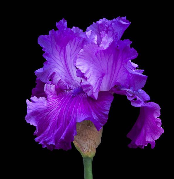 Purple Iris on Black