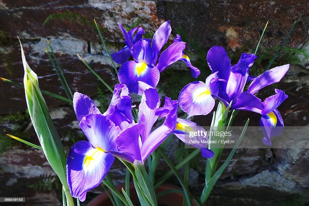 Purple Iris Plant On Field : Stock Photo