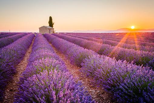 Purple lavender field in Valensole, France 490129602