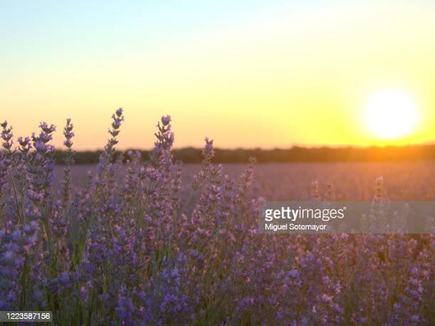 purple lavender fields - castilla la mancha fotografías e imágenes de stock