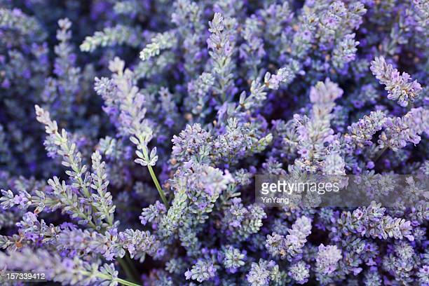 purple lavender flower herb and spice background texture - homeopathic medicine stock photos and pictures