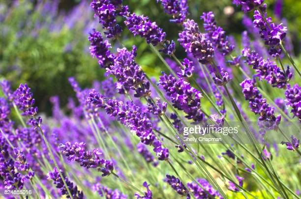 purple lavender - lavender stock pictures, royalty-free photos & images