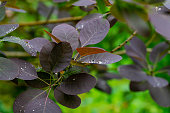 Purple leaves Cotinus coggygria Royal Purple (Rhus cotinus, European smoketree) on blurred background greenery in garden. Selective focus. Large raindrops on purple leaves. Nature concept for design.