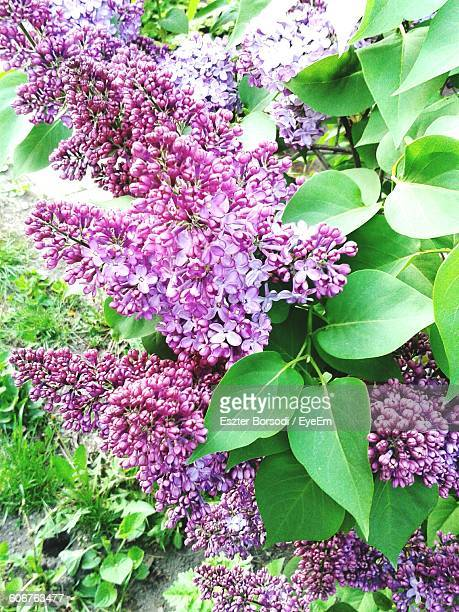 purple lilac blooming outdoors - purple lilac stock pictures, royalty-free photos & images