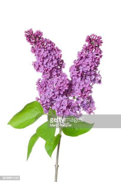 Purple Lilac (syringa) flowers against white background.