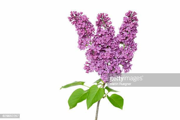 purple lilac (syringa). - purple lilac stock pictures, royalty-free photos & images