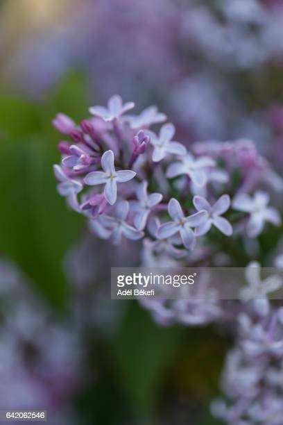purple lilac - purple lilac stock pictures, royalty-free photos & images