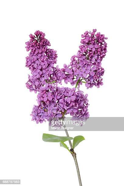 Purple Lilac (syringa).