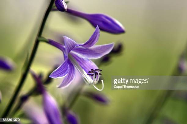 purple lily flower - cappi thompson stock pictures, royalty-free photos & images