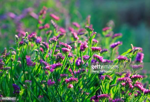 Purple Limonium sinuatum on field