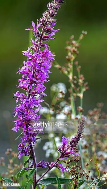 Purple loosestrife / spiked loosestrife / purple lythrum in flower