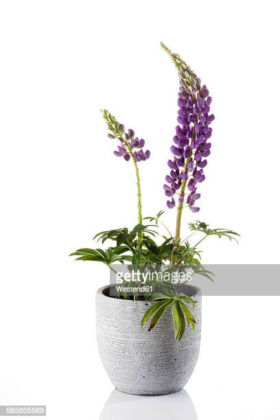 purple lupine, lupinus luteus, in flowerpot - pot plant stock pictures, royalty-free photos & images
