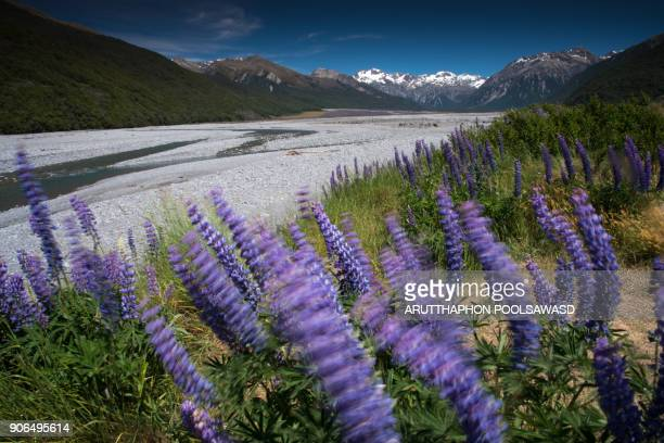 Purple lupins at Bealey valley , Arthur's pass , canterbury , New zealand
