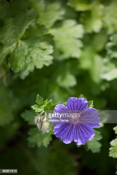 Purple Malva