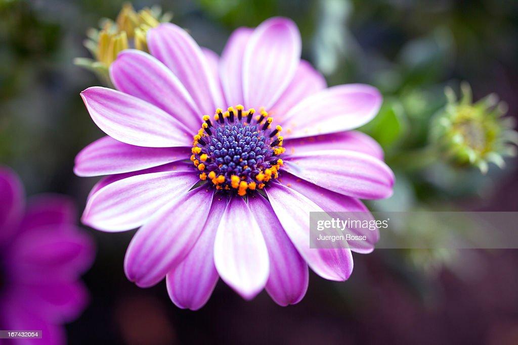 Purple margarita, close up : Foto de stock