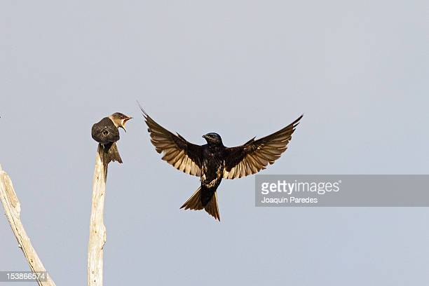 Purple Martins - Flying lessons