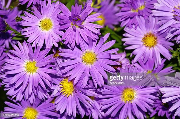 Violet Michaelmas daisies.