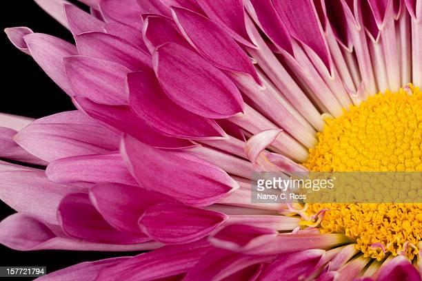 Violet maman, Jaune Center, isolé en noir, une seule fleur, Macro