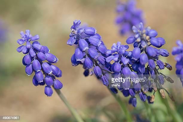 purple muskari - muscari armeniacum stock pictures, royalty-free photos & images