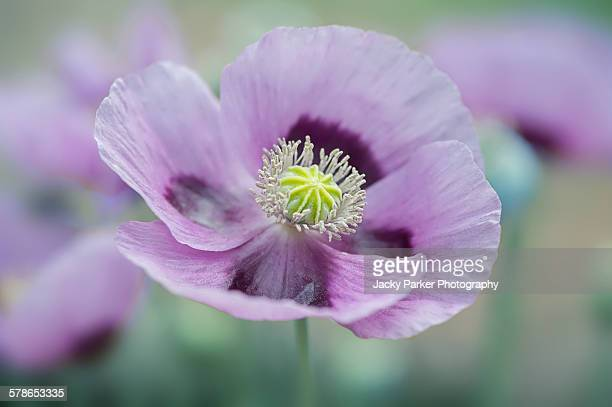 purple opium poppy flower - purple lilac stock pictures, royalty-free photos & images