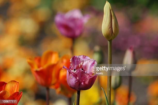 Tulipano pappagallo foto e immagini stock getty images for Tulipani arancioni