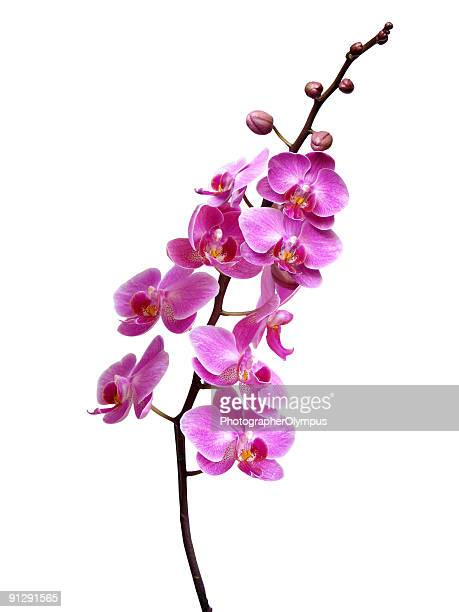 Purple orchid in bloom