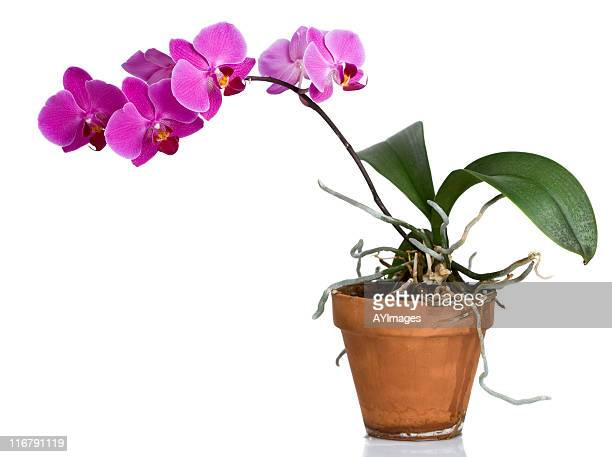 purple orchid in clay pot - orchid flower stock pictures, royalty-free photos & images