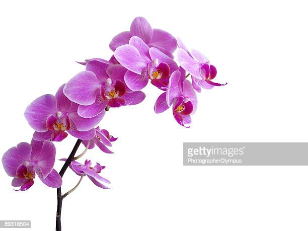 purple orchid in full bloom - orchid stock pictures, royalty-free photos & images