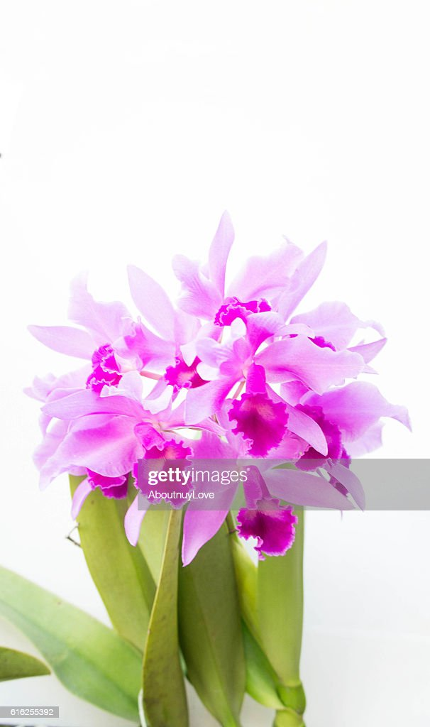 Purple orchids flower on white background and copy space : Stock Photo