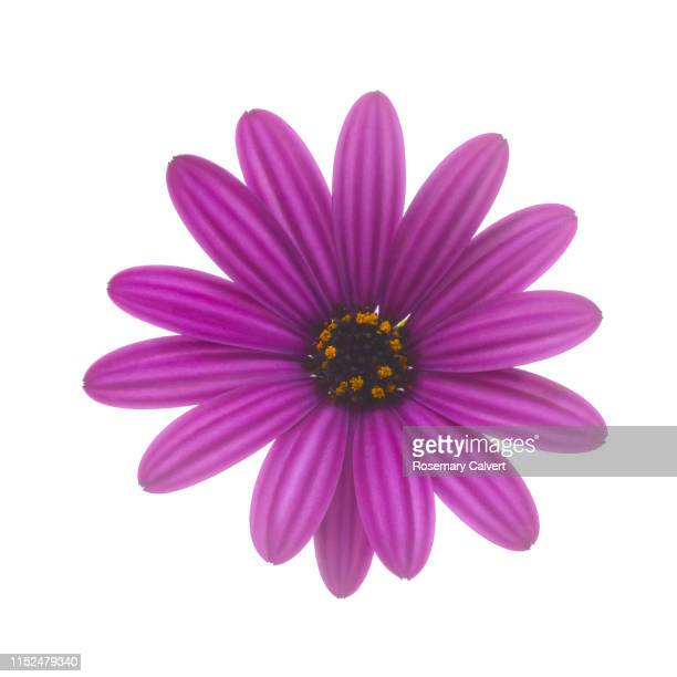 purple osteospermum, or african daisy, on white. - daisy stock pictures, royalty-free photos & images