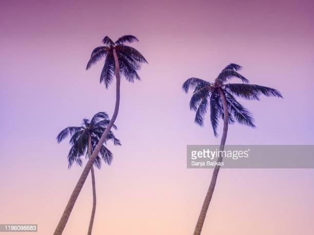 purple palm trees - palm tree stock pictures, royalty-free photos & images