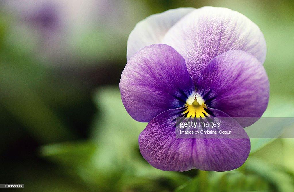 Purple Pansy : Stock Photo