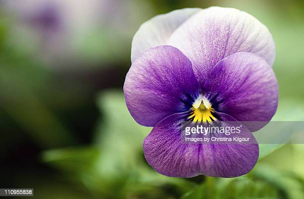 purple pansy - pansy stock pictures, royalty-free photos & images