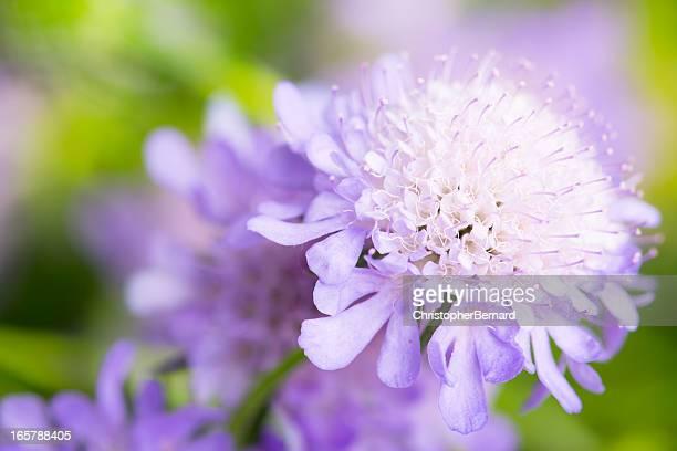 fiori viola pincushion - mazzi fiori di campo foto e immagini stock