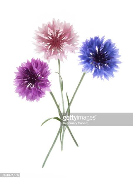 Purple, pink and blue cornflowers together.