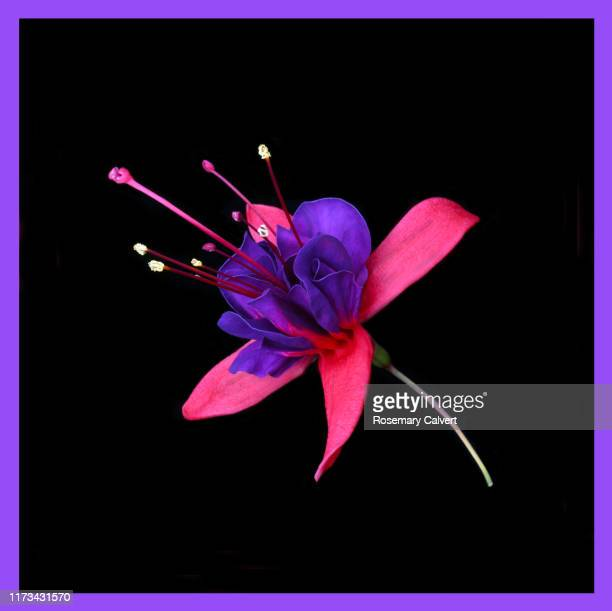 purple & pink fuchsia flower on black with purple border. - black border stock pictures, royalty-free photos & images