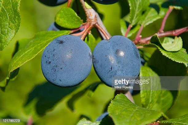 Purple Plums (Prunus insititia) 'Langley Bullace'