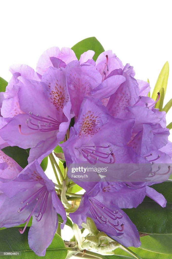 Rododendro púrpura flor con leafs : Foto de stock